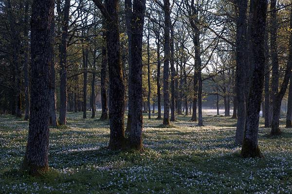 Morgenstemning i eikeskogen