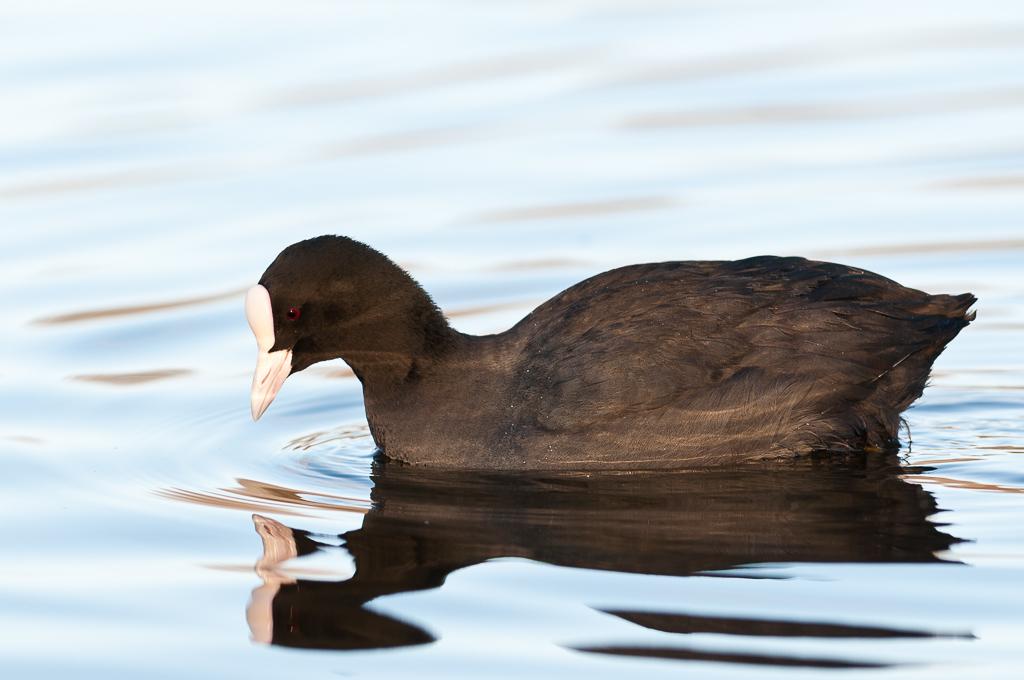 Sothøne - ein elegant fugl! Biletet er tatt nokre veker før. (Foto: Rine G. Carlsen)