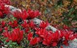 Rynkevier i knall rød høstdrakt. Foto: Rine G. Carlsen