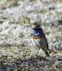 ...og her blåstrupe hann. En liten fargeklatt! Foto: Rine G. Carlsen