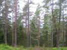 Høye, ranke furuer (Foto: Marianne)